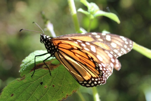 Mariposa Monarca en Vallde de Bravo. Fotografía: Andrea Arzaba. Febrero 2012.